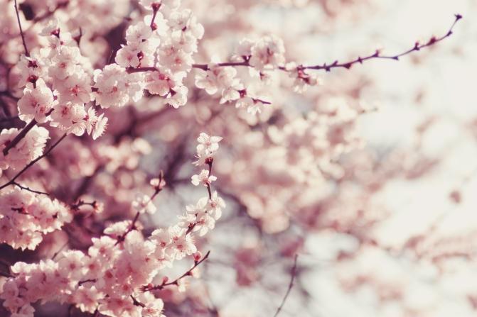 cherry-blossoms_shutterstock_251769337